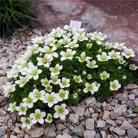 Камнеломка белая Saxifraga arendsii