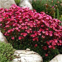 Камнеломка красная Saxifraga arendsii