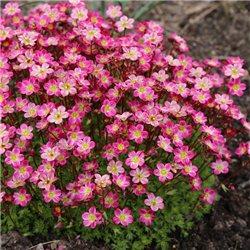 Ломикамінь рожевий Saxifraga arendsii