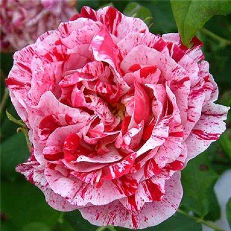 Роза парковая Ferdinand Pichard (Фердінанд Пішард)