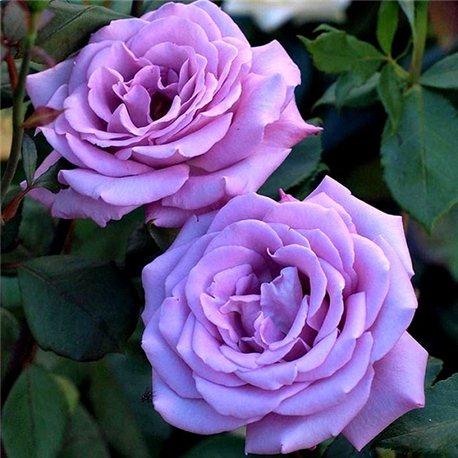 Роза плетистая Climbing Blue Moon (Плетистий Блю Мун)