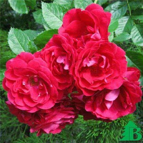 Роза плетистая Flamentanz (Фламентанз)
