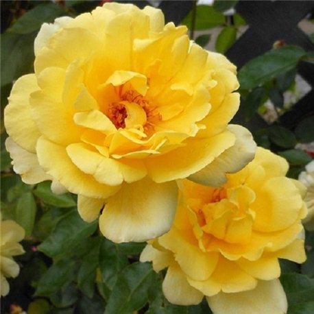 Роза плетистая Golden Showers (Голден Шоверз)