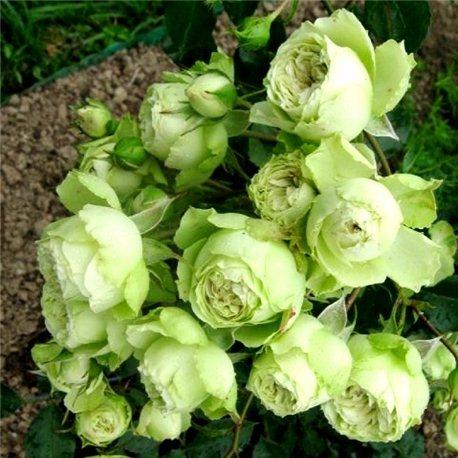 Роза полиантовая Lovely Green (Лавлі Грін)