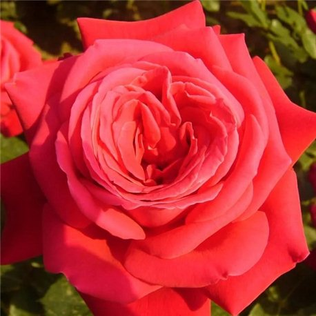 Роза чайно-гибридная Dame de Coeur (Дам де Кьор)