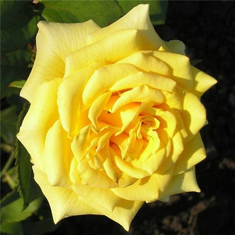 Роза чайно-гибридная Landora (Ландора)