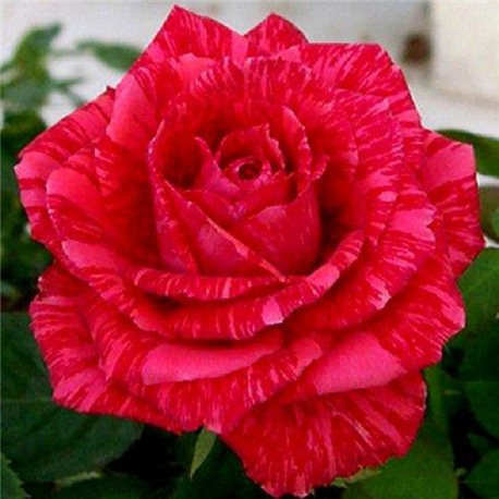 Роза чайно-гибридная Red Intuition (Ред Інтуішн)