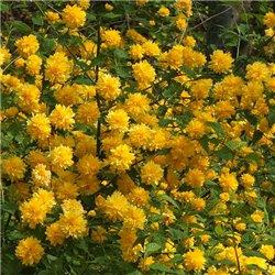 Керрия Japonica Pleniflora
