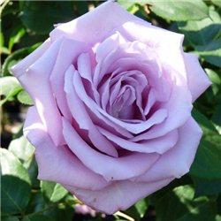 Троянда чайно-гібридна Майнцер Фастнахт