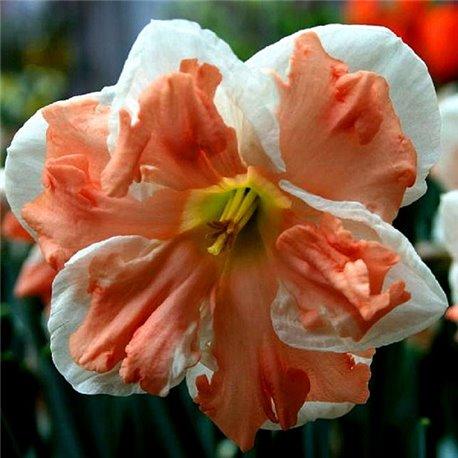 Нарцисс сплит-корона Apricot Whirl 1 луковица