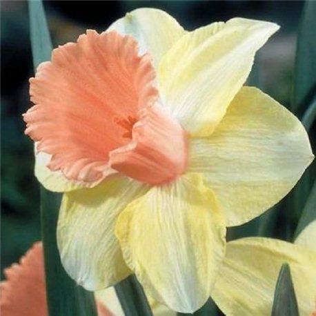 Нарцисс трубчатый Fidelity 1 луковица