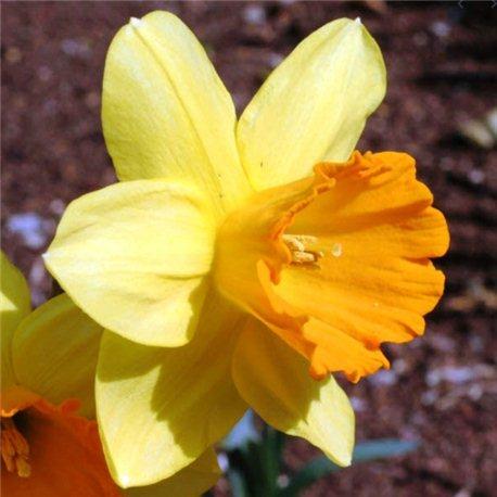 Нарцисс трубчатый Fortune 1 луковица
