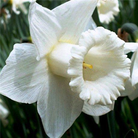 Нарцисс трубчатый Mount Hood 1 луковица