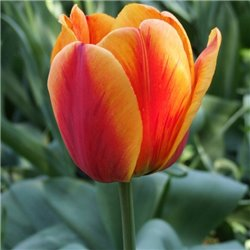 Тюльпан класичний Дарвіна Apeldoorn's Elite 3 цибулини
