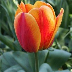 Тюльпан классический Дарвина Apeldoorn's Elite 3 луковицы