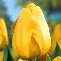 Тюльпан классический Дарвина Golden Apeldoorn 3 луковицы
