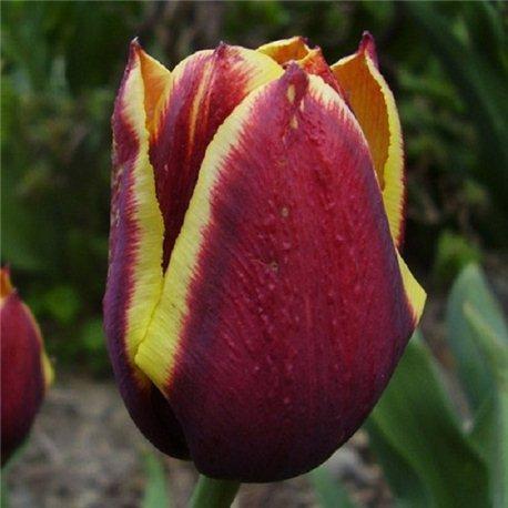 Тюльпан триумф Gavota 3 луковицы