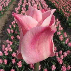 Тюльпан триумф Miss Elegance 3 луковицы