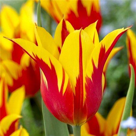 Тюльпан лилиецветный Fire Wings 1 луковица