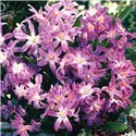 Хионодокса Luciliae Rose Queen 10 луковиц