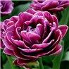 Тюльпан махровий Dream Touch 1 цибулина