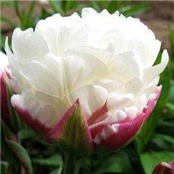 Тюльпан махровый Ice Wonder 1 луковица