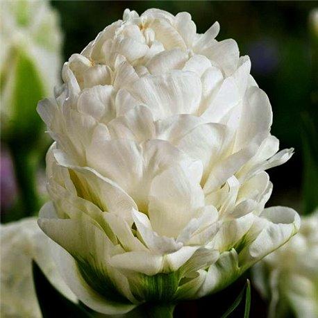 Тюльпан махровый White Mountain 1 луковица