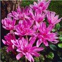 Пізньоцвіт осінній Colchicum Waterlily 1 цибулина
