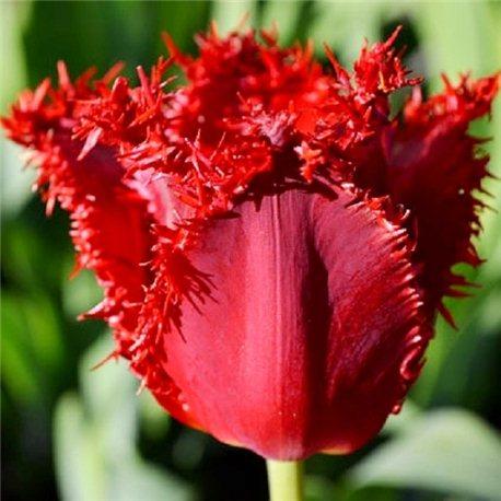 Тюльпан бахромчатый Calibra 2 луковицы