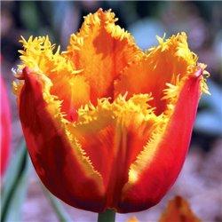 Тюльпан бахромчатый Fabio 2 луковицы