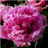 Тюльпан оторочений махровий Matchpoint 1 цибулина