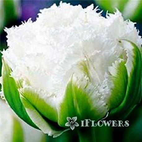 Тюльпан бахромчатый махровый Snow Crystal 1 луковица