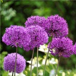 Аллиум Лук декоративный Purple Sensation 1 луковица