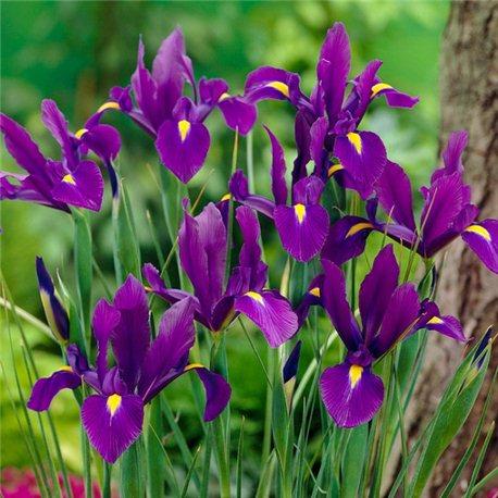Ирис летний hollandica Purple 5 луковиц