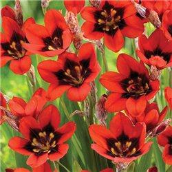 Спараксіс Red Reflex 5 цибулин