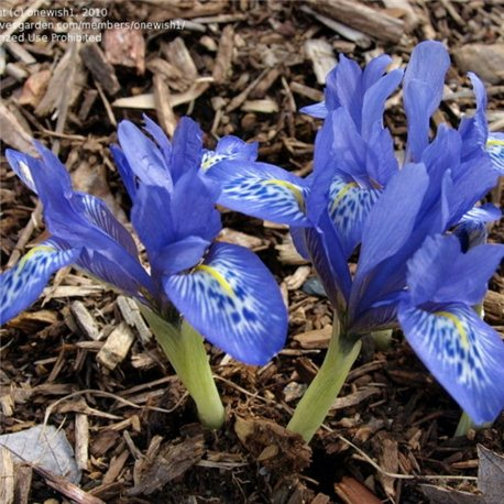 Ирис ранневесенний Lady Beatrix Stanley 3 луковицы