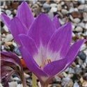 Пізньоцвіт осінній Colchicum Violet Queen 1 цибулина