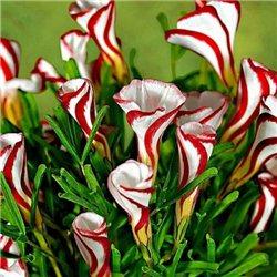Кислица оксалис Versicolor 1 луковица