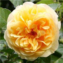 Троянда англійська Graham Thomas