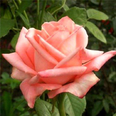 Роза чайно-гибридная Пикуба