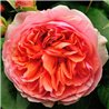 Роза английская Chippendale