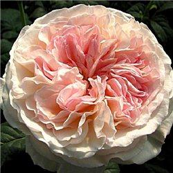 Троянда англійська Keira