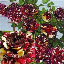 Троянда плетиста Абра