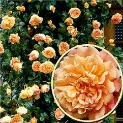 Троянда плетиста Алоха