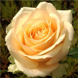 Роза чайно-гибридная Пич Аваланж