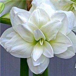 Гіпеаструм Amaryllis Akiko (Double) 1 цибулина