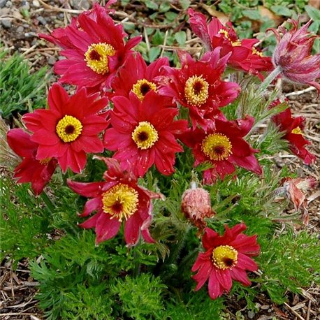 Сон-трава Pinwheel Dark Red