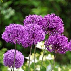Алліум Цибуля декоративна Purple Sensation 3 цибулини