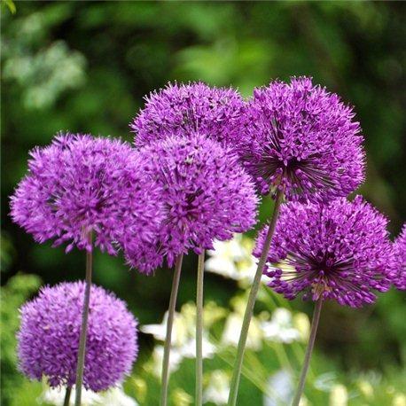 Аллиум Лук декоративный Purple Sensation 3 луковицы