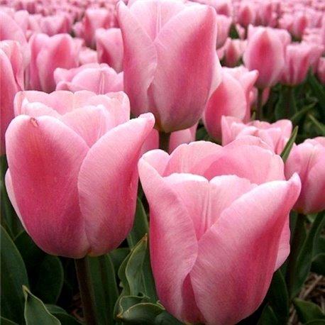 Тюльпан триумф Synaeda Amor 3 луковицы